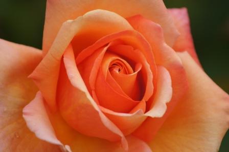 Rose- Workshop & Meditation